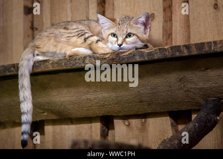A sad cheshire cat with big ears and eyes lies on a blackboard. The tail hangs. Wool brown, white and black stripes. - Stock Photo