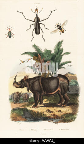 Bottlebrush weevil, Rhinostomus barbirostris 1, hoverfly, Rhingia rostrata 2, Indian rhinoceros, Rhinoceros unicornis, vulnerable 3, narrow-waisted bark beetle, Rhinosimus ruficollis 4. Rhine, Rhingie, Rhinoceros, Rhinosime. Handcoloured steel engraving after an illustration by Adolph Fries from Felix-Edouard Guerin-Meneville's Dictionnaire Pittoresque d'Histoire Naturelle (Picturesque Dictionary of Natural History), Paris, 1834-39. - Stock Photo