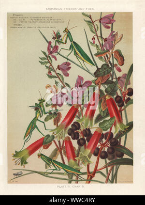 Native fuchsia, Correa speciosa, native lilac, Tetratheca glandulosa, native pepper, Tasmannia aromatica with green mantis, Mantis religiosa var.. Chromolithograph after an illustration by Louisa Anne Meredith from her book Tasmanian Friends and Foes, Feathered, Furred and Finned, Marcus Ward, London, 1881. - Stock Photo