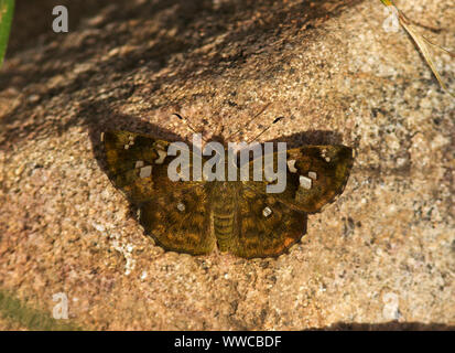 The Elfin Skipper is a small moth-like butterfly that is more noramlly found in or close to wooded areas. They are common and nocturnal in habit - Stock Photo