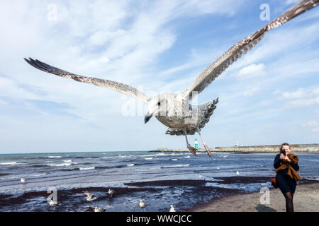 Bird flying seagulls over the beach, Baltic Sea Warnemunde Germany - Stock Photo