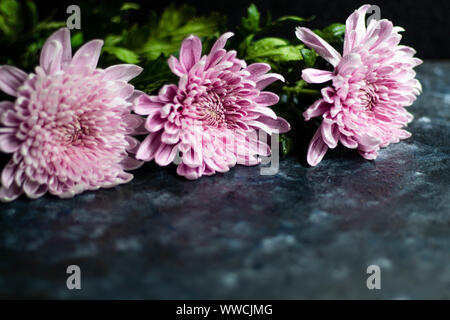 Chrysanthemums on a dark background. Lilac color with green leaves and drops of water. Suitable for holiday cards. - Stock Photo