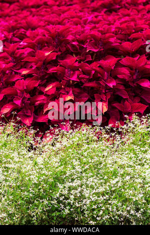 Though usually shade-loving, the Red Hat variety of coleus (Plectranthus scutellarioides) thrives in sunshine, in this showy display of color. - Stock Photo
