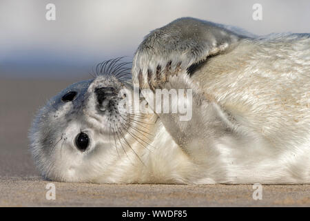 Atlantic Grey Seal. Halichoerus grypus 2 week old pup December Norfolk - Stock Photo
