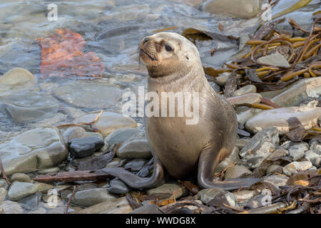Southern Sea Lion yearling pup - Stock Photo