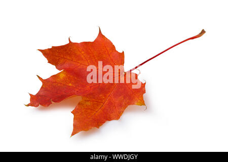 Fallen autumn maple leaf in red colors isolated on white background - Stock Photo