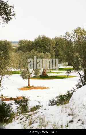 Beautiful Olive trees in an olive grove in the snow, Apulian landscape after a snowfall, unusual cold winter in Salento - Stock Photo