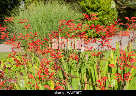 A clump of Crocosmia crocosmiliflora Montbretia with orange red flowers in full flower in summer - Stock Photo