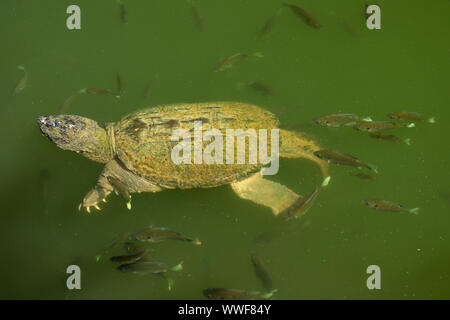 snapping turtle, Chelydra serpentina, and bluegills, Lepomis macrochirus, bluegills attempting to feed on the algae on turtle's carapace, Maryland - Stock Photo