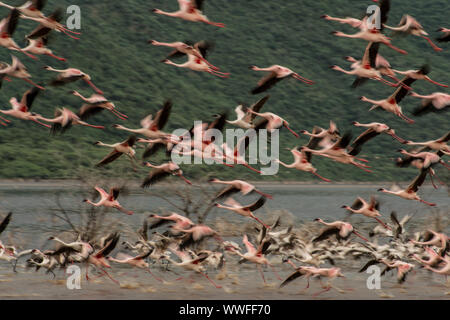 Lesser Flamingo, Phoeniconaias minor, Phoenicopteridae, Lake Bogoria National Reserve, Kenya, Africa - Stock Photo