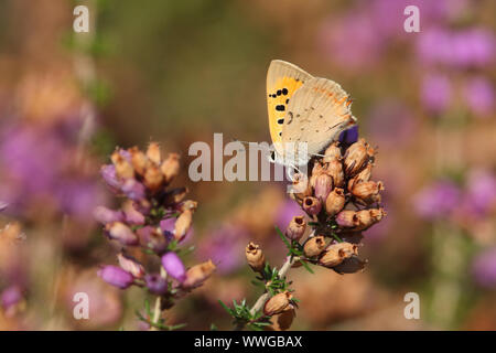 A pretty Small Copper Butterfly,  lycaena phlaeas, perching on a heather flower. - Stock Photo