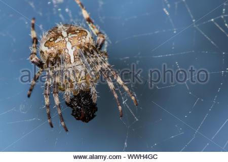 A European Garden Spider (Araneus Diadematus) devours her catch - Stock Photo