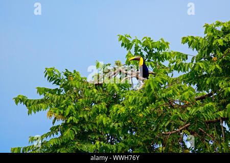 Toucan bird sitting in the tree top at Drake Bay, Costa Rica - Stock Photo