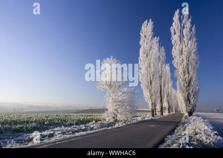 Poplars in a field at sunrise with hoarfrost - Stock Photo