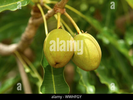 Fruits of the Karité tree / Shea butter tree - Stock Photo