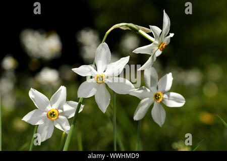 Poet daffodil, Narcissus poeticus - Stock Photo