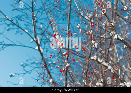 Ripe vividly red berries viburnum on the branches covered with white snow closeup - Stock Photo