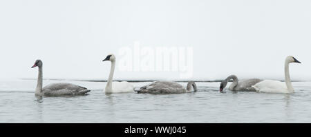 Tundra swans swim in the freezing river. In the winter. Alaska,  USA - Stock Photo