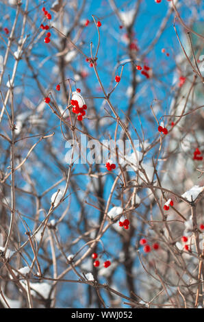 Ripe vividly red berries viburnum on the branches covered with white snow vertical orientation - Stock Photo