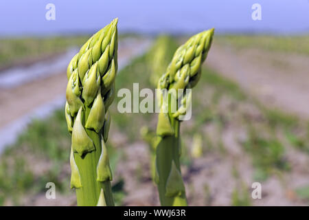 green asparagus, Aspagurus, growing on field in Brandenburg - Stock Photo