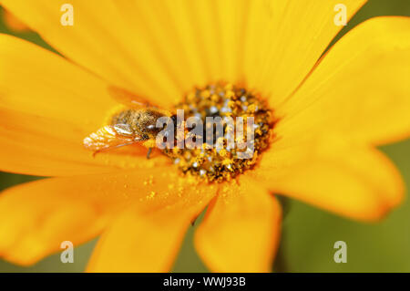 Bee searching for pollen in an aster - Stock Photo