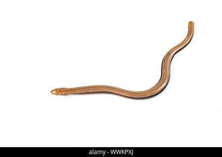 Close-up of a slow-worm blindworm - Stock Photo