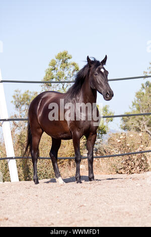 purebred menorcan horse prm horse outdoor rolling - Stock Photo