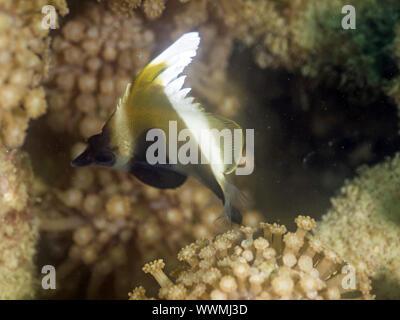 horned bannerfish - Stock Photo