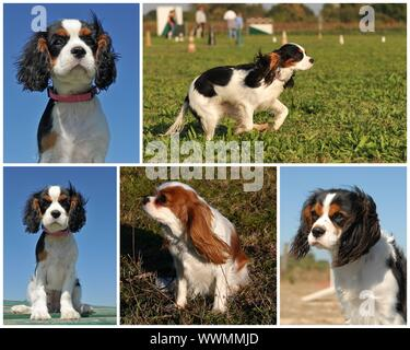 composite picture of purebred cavalier king charles - Stock Photo
