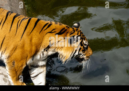 Amur Tiger in the water. Wild nature. - Stock Photo