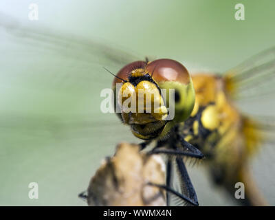 Spotted Darter - Stock Photo