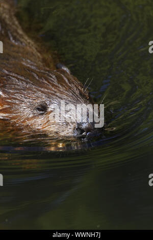 European beaver, Castor fiber - Stock Photo