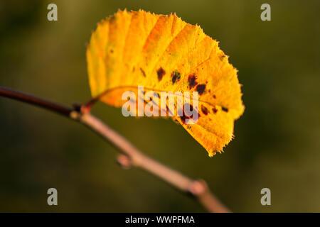 Autumn colours butes foliage of beech - Stock Photo