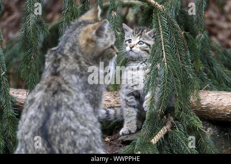 Wildcat, Common Wild Cat - Stock Photo