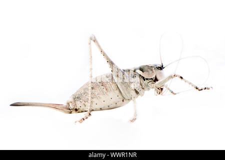 Closeup of locust which cleans mustache care appearance - Stock Photo