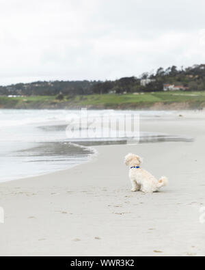 Dog alone on a beach in Carmel, California watching waves - Stock Photo