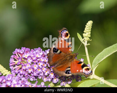 Peacock butterfly - Stock Photo