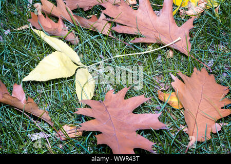 Fallen yellow oak leaves on a background of grass on the ground. - Stock Photo