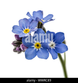 Light blue flowers of Forget-me-not (Myosotis arvensis), isolated on white background - Stock Photo
