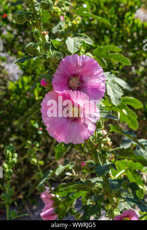 Alcea rosea, Pink Hollyhock Flowers - Stock Photo