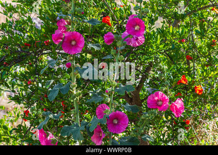 Alcea rosea, dark pink Hollyhock Flowers - Stock Photo
