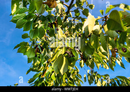 Dried and moldy cherries due to hot weather, no rainfall in western Germany, broken branches. - Stock Photo