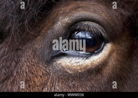 eye of a horse, domestic horse (Equus przewalskii f. caballus), Germany - Stock Photo