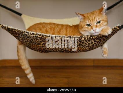 Big and beautiful red cat sleeping in hammock