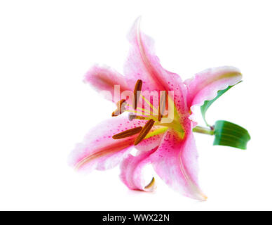 Pink tiger lily over white background - Stock Photo