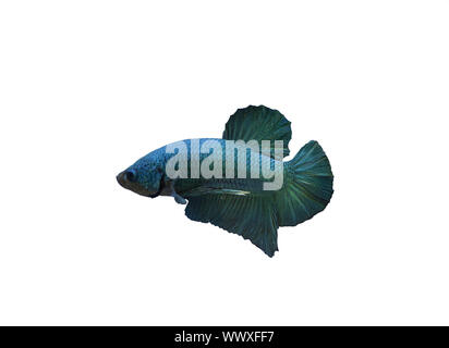 Siamese fighting fish short fin betta fish - Stock Photo