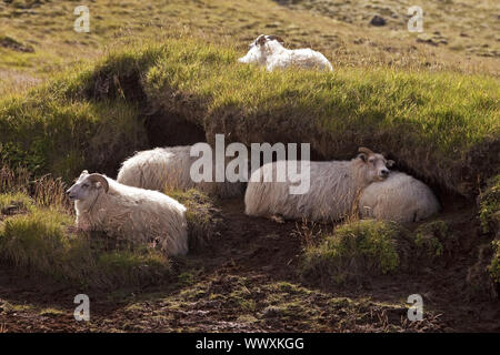 domestic sheep (Ovis ammon f. aries), resting sheep, Seljaland, South Iceland, Iceland, Europe - Stock Photo