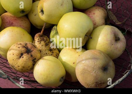 Apples, fallen fruits - Stock Photo