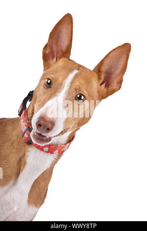 Podenco in front of a white background - Stock Photo