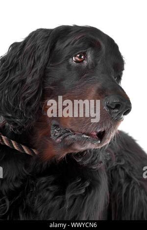 Head of Irish Setter dog isolated on a white background - Stock Photo
